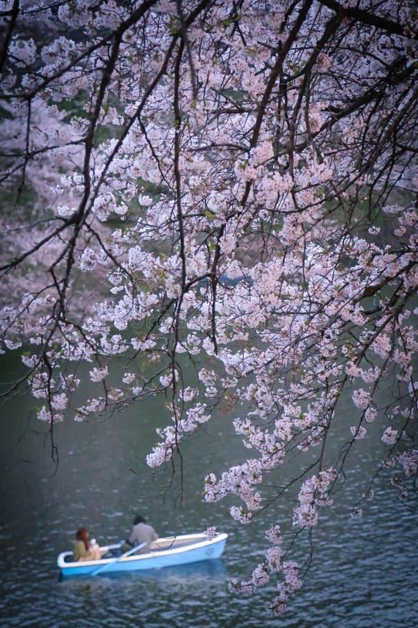 Passeio romântico do riverboat sob árvores cor-de-rosa imagem de stock royalty free