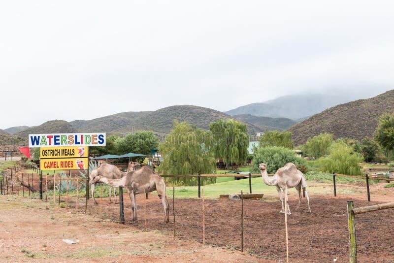 Passeios de oferecimento do camelo do recurso de feriado imagem de stock royalty free