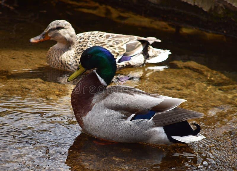 Passen Sie vom Enten-Schwimmen zusammen lizenzfreies stockbild