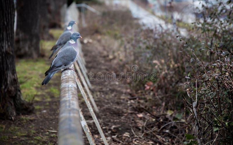 Passen Sie von den Ringeltauben zusammen, die auf einem Zaun sitzen lizenzfreies stockfoto