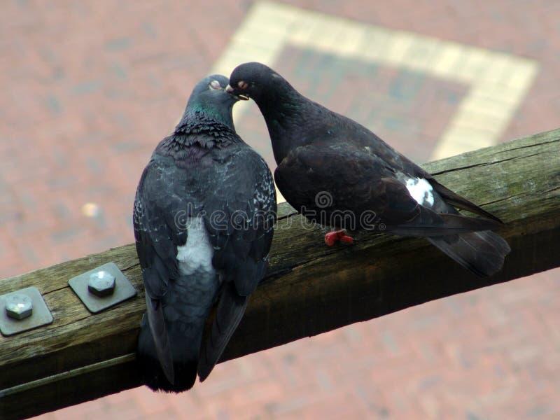 Passen Sie von den Tauben auf einem Holzbalkenküssen zusammen lizenzfreies stockfoto