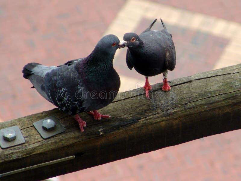 Passen Sie von den Tauben auf einem Holzbalkenküssen zusammen lizenzfreies stockbild