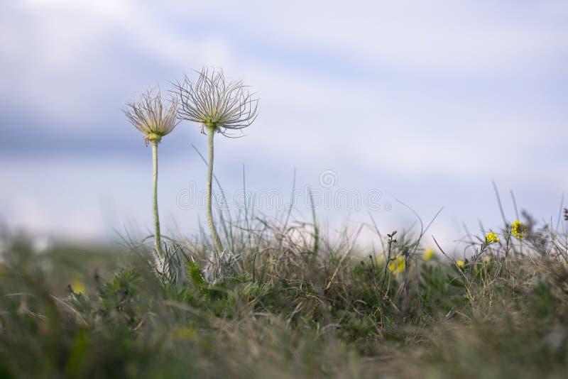 Passen Sie von der Wiese der Wildflowers im Frühjahr zusammen Perfekte Anemone, Pulsatilla taurica, Ranunculaceae, wilde Wiesenge lizenzfreies stockfoto