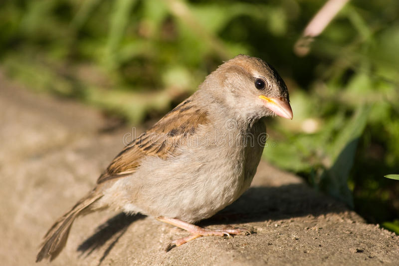 Download Passer domesticus stock photo. Image of young, wild, passer - 10430830