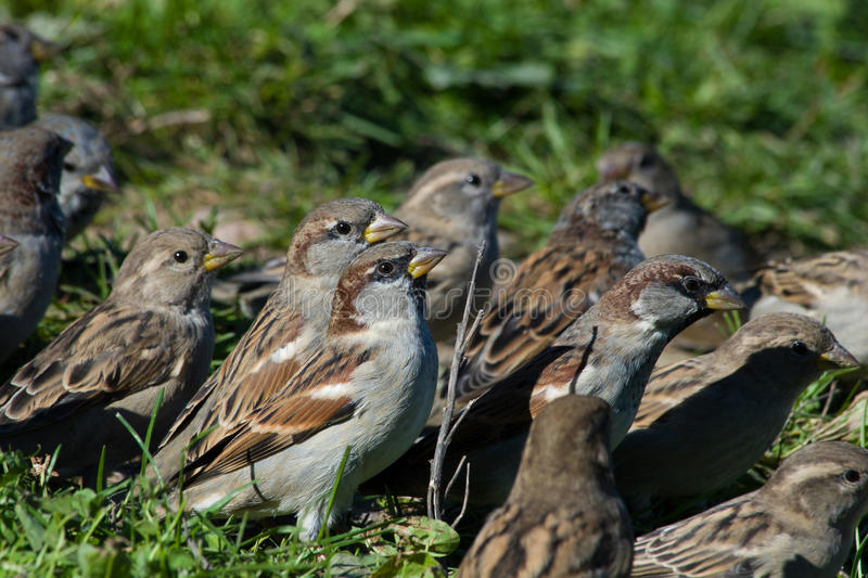 Passer domesticus, House Sparrow. House Sparrows flocking and chirping together stock photos