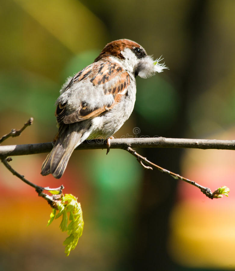 Passer domesticus, House Sparrow stock images