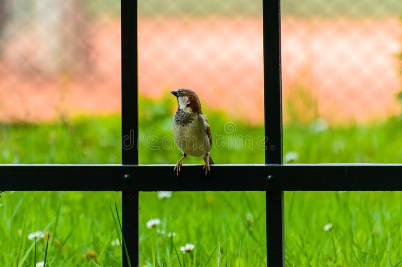 Passer domesticus, sparrow sitting on a fence stock image