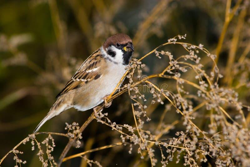 Passer montanus, Tree Sparrow stock photo
