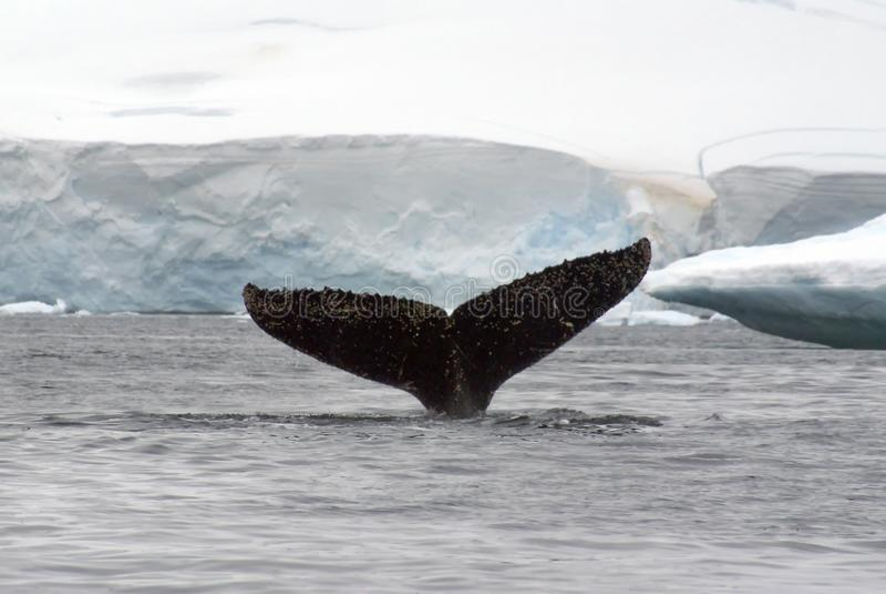 Passera della coda della megattera in Antartide fotografie stock