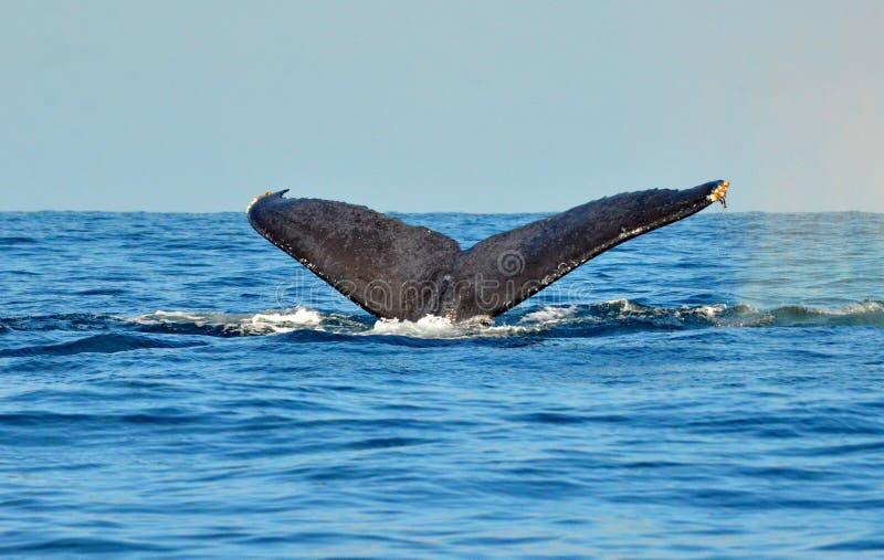 Passera della coda della megattera di immersione subacquea fotografia stock libera da diritti