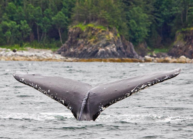 Passera a dorso d'asino 2 della coda dell'Alaska immagine stock libera da diritti