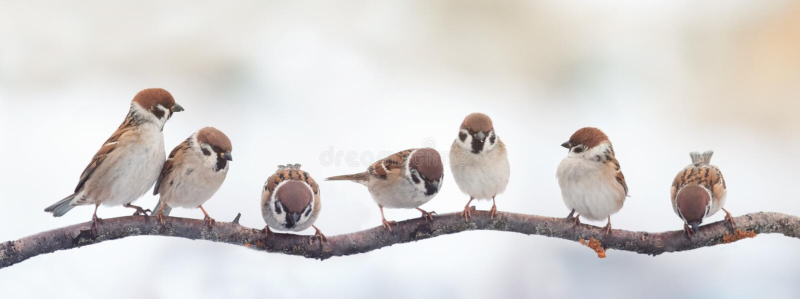 Passeri divertenti degli uccelli che si siedono su un ramo sull'immagine panoramica fotografia stock