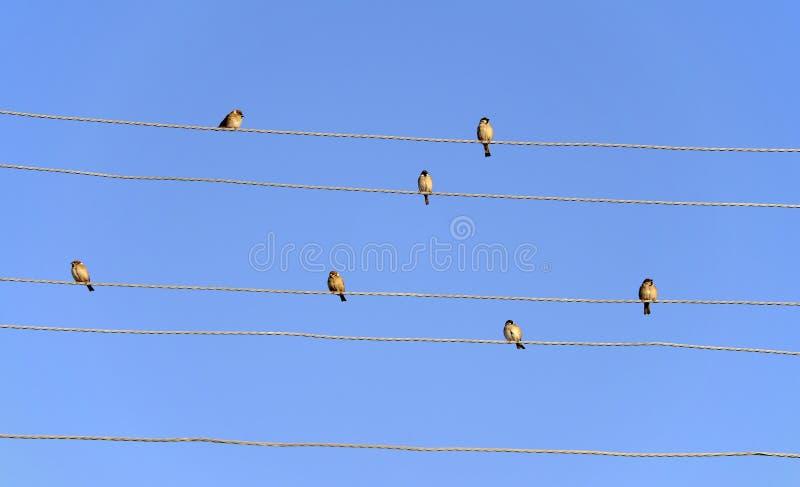 Passeri sulle linee elettriche fotografia stock