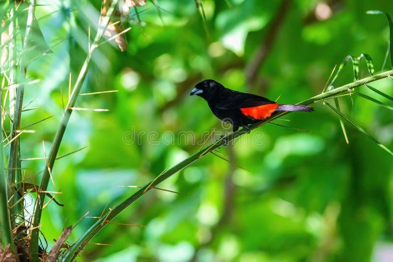 Passerini e x27;s Tanager & x28;Ramphocelus passerinii e x29; maschio con corpo nero puro e noce rossa, preso in Costa Rica immagine stock libera da diritti