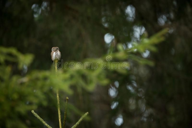 Passerinum de Glaucidium ? a coruja a menor em Europa Ocorre principalmente em Europa do Norte foto de stock