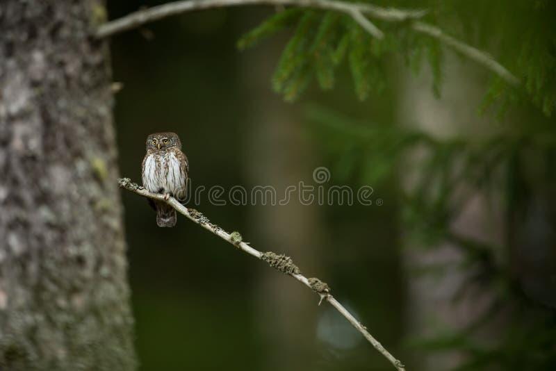 Passerinum de Glaucidium ? a coruja a menor em Europa Ocorre principalmente em Europa do Norte fotos de stock royalty free