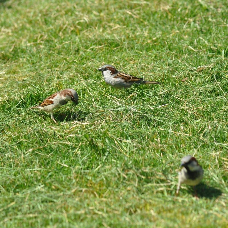 Passero che raccoglie erba per il nido immagini stock libere da diritti