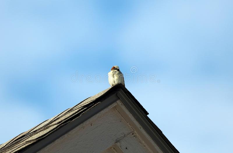 Passero comune in tetto della casa fotografia stock