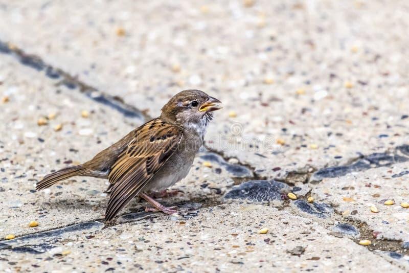Passero del Giallo-becco di Youngling con l'ala danneggiata - al Crossro fotografia stock