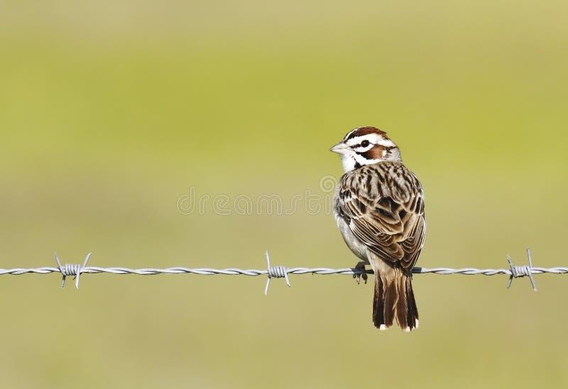 Download Passero del Lark su filo fotografia stock. Immagine di recinzione - 206200