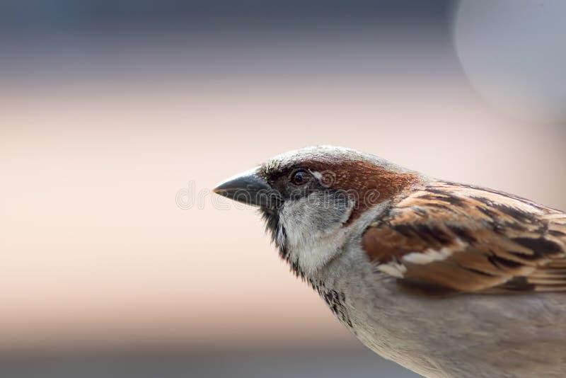 Passero della Camera Uccello maschio nella fine sul profilo con il backgrou normale fotografia stock