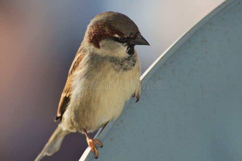 Passero, domesticus del passante, specie di piccolo uccello dal Passeridae della famiglia del passero immagine stock