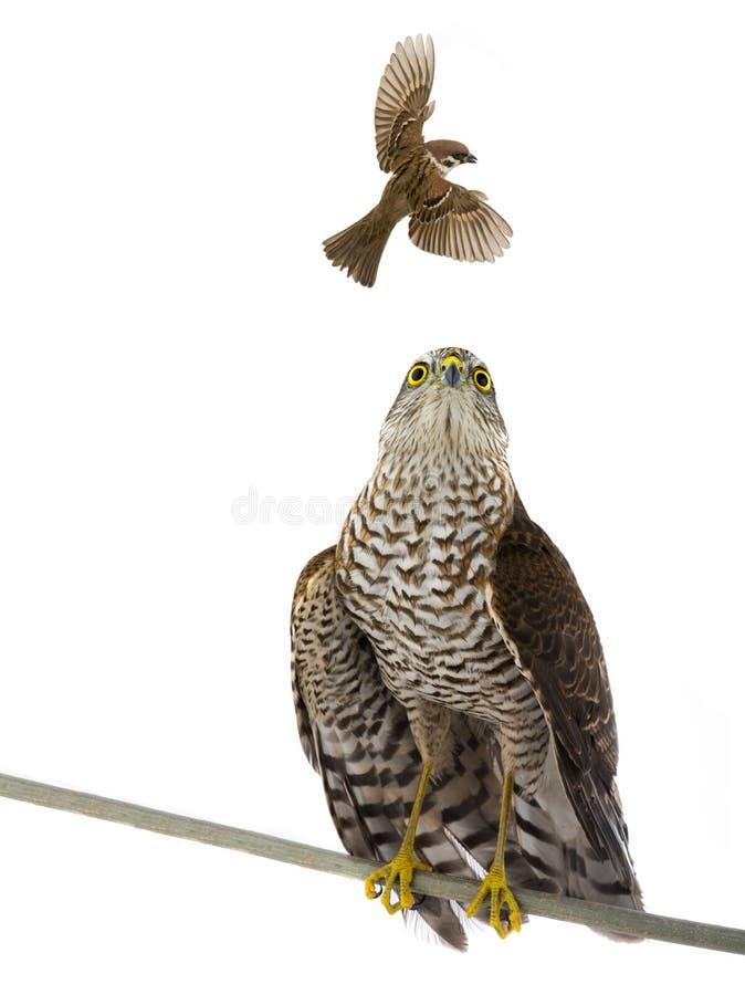 Passero e falco isolati fotografia stock libera da diritti