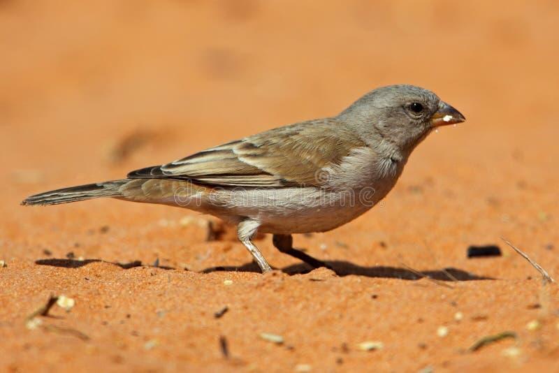 Passero Grey-headed, deserto di Kalahari fotografia stock