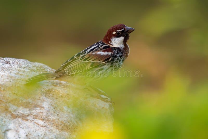 Passero spagnolo - hispaniolensis del passante o maschio del passero del salice fotografia stock libera da diritti