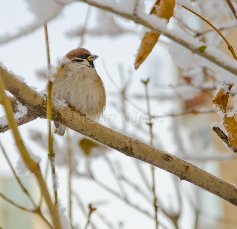Passero su un ramo nell'inverno fotografie stock libere da diritti