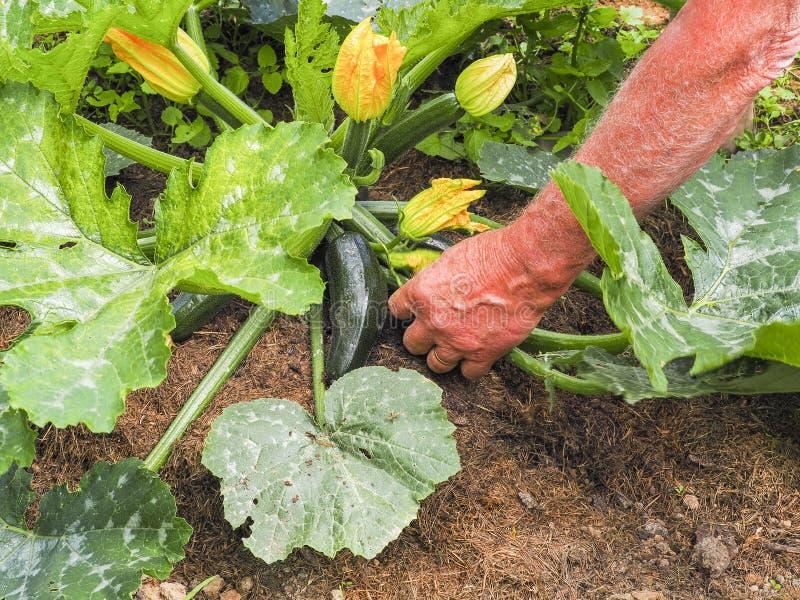 Passi i fiori dello zucchini di raccolto in orto, fine su fotografie stock libere da diritti