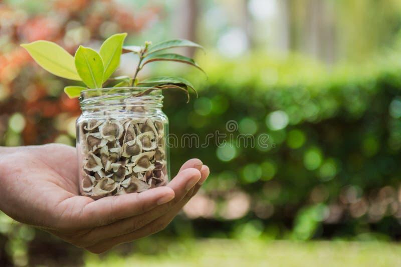 Passi i semi e le piantine della tenuta nel barattolo L'ecologia conserva il concetto fotografia stock libera da diritti