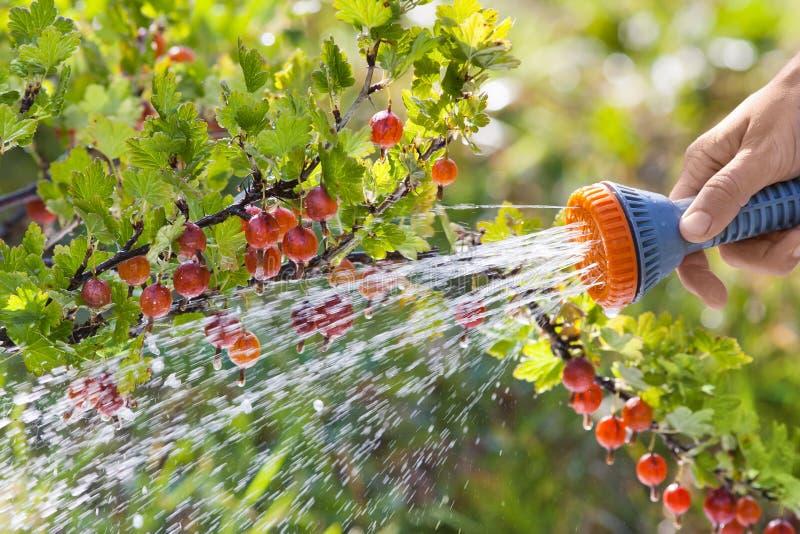 Passi il cespuglio di uva spina d'innaffiatura nel giardino, primo piano fotografia stock