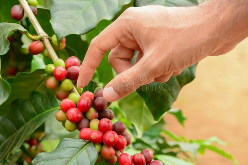 Passi il selezionamento dei beens rossi del caffè sulla pianta del caffè immagini stock libere da diritti