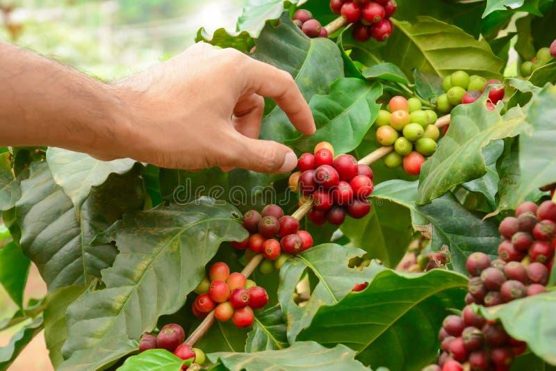 Passi il selezionamento dei chicchi di caffè rossi sulla pianta del caffè (caffè Arabica) immagine stock