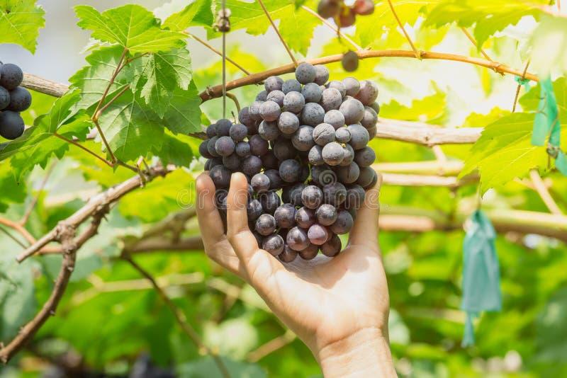 Passi il selezionamento dell'uva matura BLACKOPOR su una vite in giardino agricolo immagine stock