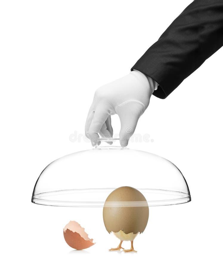 Passi la tenuta del coperchio sopra un pollo del bambino fotografia stock libera da diritti