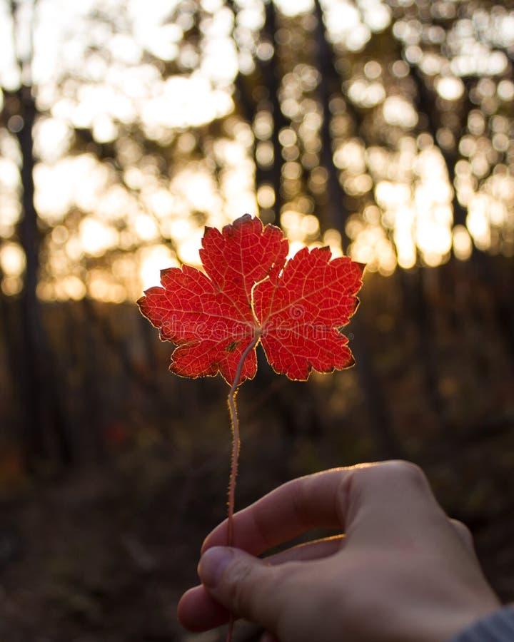 Passi la tenuta della foglia di acero rossa sul fondo soleggiato di autunno immagine stock libera da diritti