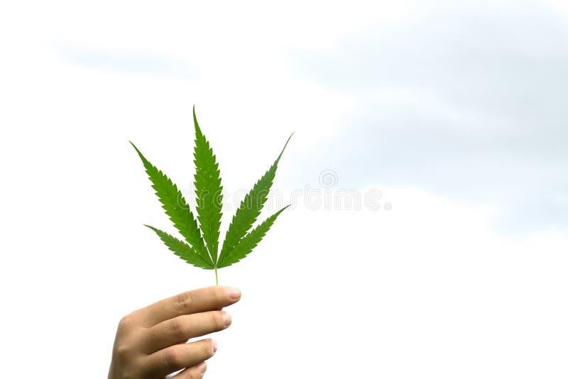 Passi la tenuta della foglia giovane di marijuana sul cielo bianco immagine stock libera da diritti