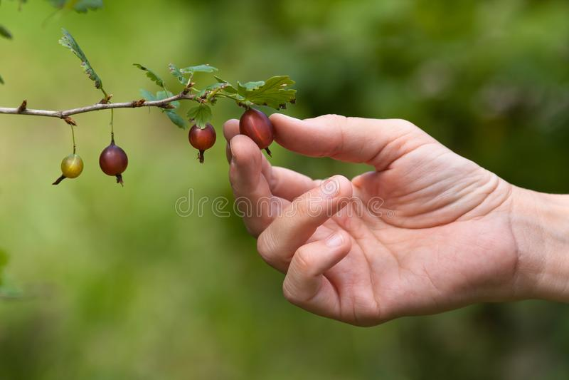 Passi le bacche di raccolto dell'uva spina nel giardino fotografie stock libere da diritti