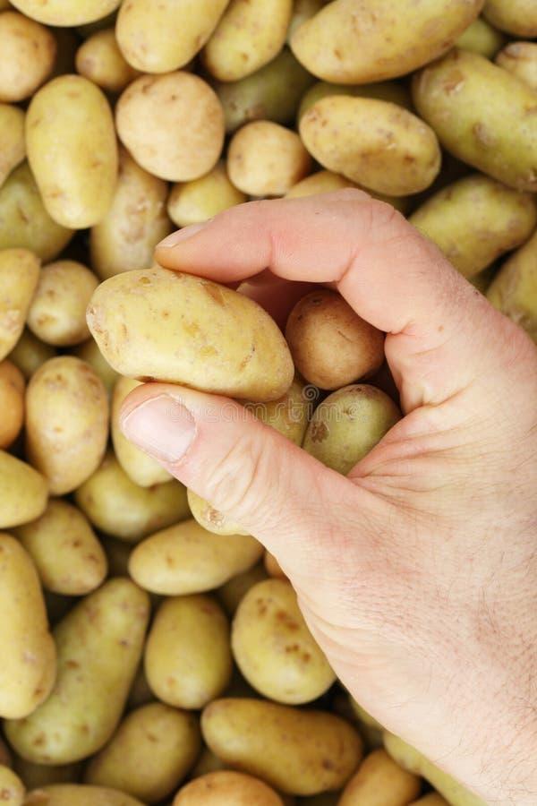 Passi a raccolto la mini patata immagini stock