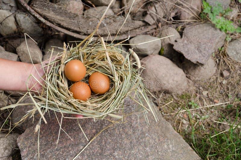 Passi a tenuta il piccolo nido del fieno con le uova ovali del pollo fotografie stock