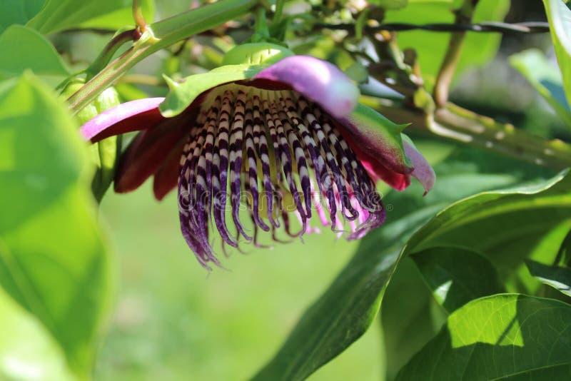Passiebloem, als hartstochtsbloemen of passiebloemen die ook wordt gekend stock foto