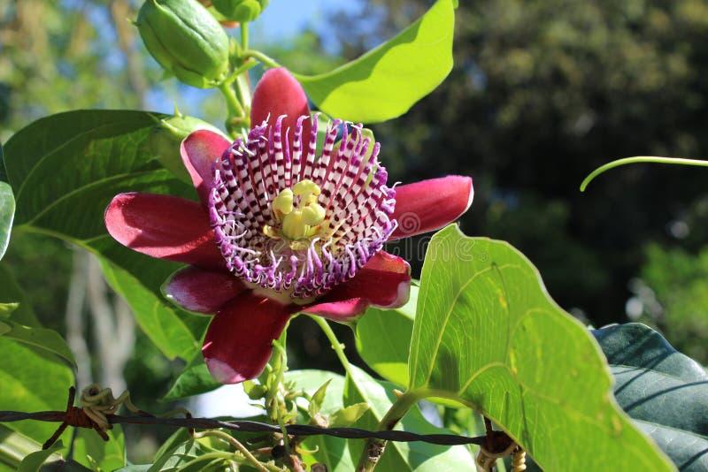 Passiebloem, als hartstochtsbloemen of passiebloemen die ook wordt gekend stock afbeelding