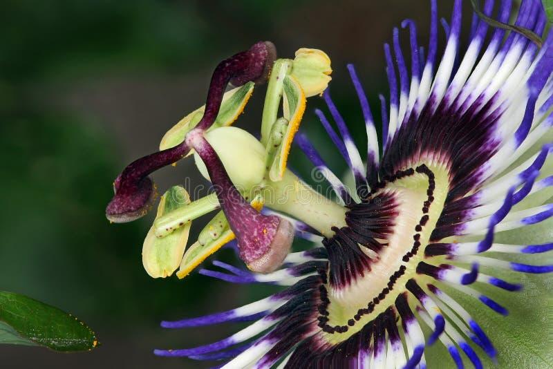Passiebloem, ook als hartstochtsbloemen of passiebloemen wordt de gekend, is een soort van ongeveer 500 species van bloeiende ins royalty-vrije stock afbeelding