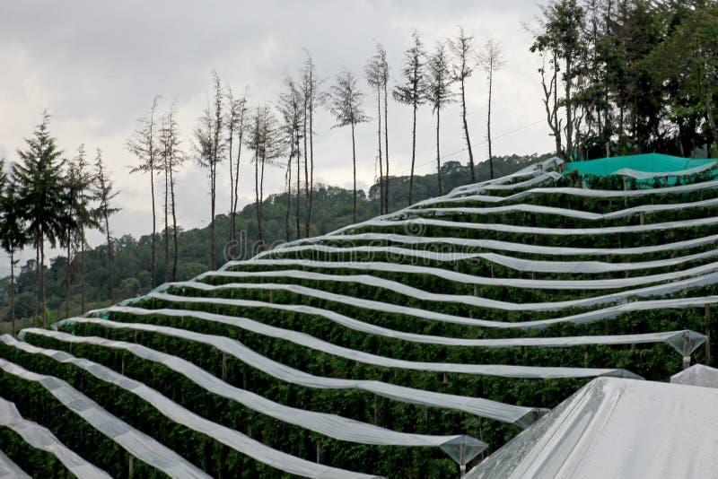 Passievrucht, Maracuja, Passiebloem edulis, op de wijnstok in aanplantingen, dichtbij Gr Jardin, Antioquia, Colombia royalty-vrije stock afbeeldingen