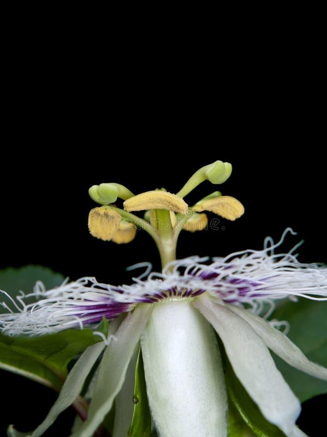 passiflora zdjęcia stock
