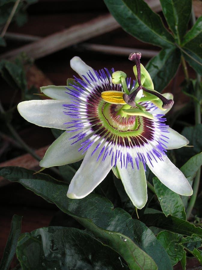 Download Passiflora 2 stock image. Image of pollen, flowers, climbing - 269833