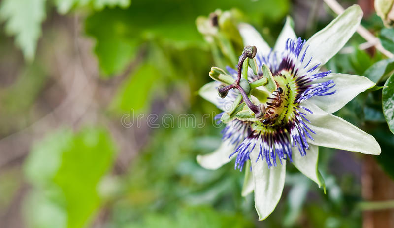passiflora στοκ φωτογραφία με δικαίωμα ελεύθερης χρήσης