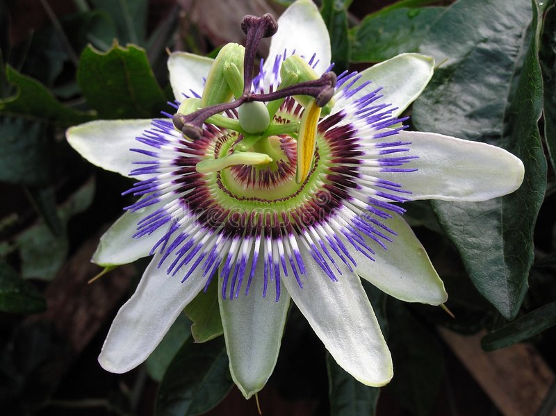 Passiflora. A Passion Flower stock image